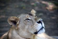 lauva, solveiga mikelsone foto, ceļojumi, dzīvnieki, lielie kaķi