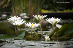 solveiga mikelsone foto, daba, ziedi, lotosi