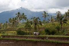 solveiga mikelsone foto, ceļojumi, bali, rīsu lauki, hinduisms, daba