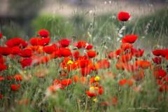 solveiga mikelsone foto, magones, puķes, pļava, vasara, turcija, pamukale