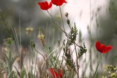 solveiga mikelsone foto, magones, ziedi, pļava, vasara, daba, turcija, pamukale