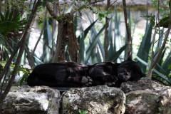 solveiga mikelsone, foto, ceļojumi, reportāža, ekskursijas, dzīvnieki, puma, pantēra, plēsēji, kaķi